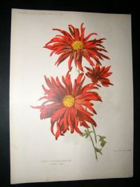 Amateur Gardening 1897 Botanical Print. Single Chysanthemum